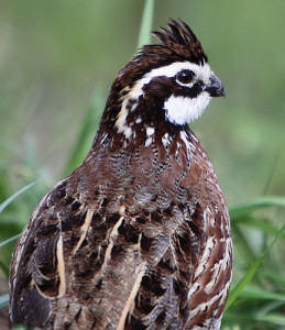 We raise and sell Northern Bobwhite Quail